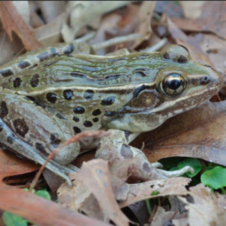 Leopard frog of NYC