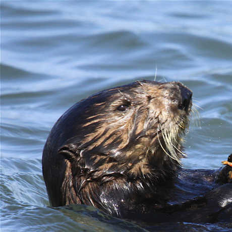 Photo of otter in Monterey Bay