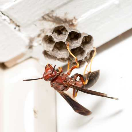 Paper Wasp, ©Matt Bertone of North Carolina State University