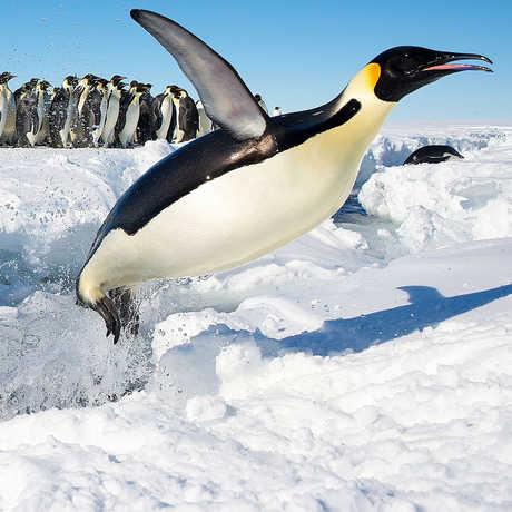 Long View Study No. 41 (Emperor Penguin Census)