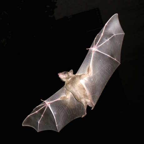 Fruit bat, Oren Peles,MathKnight/Wikimedia Commons