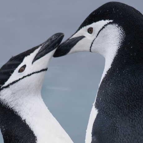 Chinstrap penguins, Graham/Wikipedia