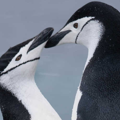 Chinstrap penguins, Graham/Wikipedia