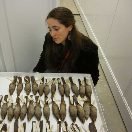 Connecting Content Intern Rachel Sargent in the Ornithology and Mammalogy collection room.
