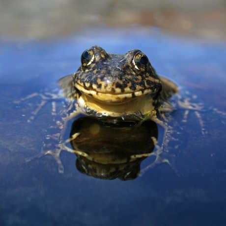 The Sierra Nevada yellow-legged frog, by Roland Knapp