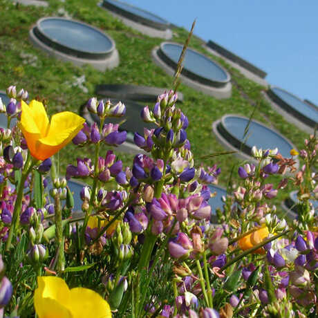 Colorful wildflowers on the Academy's Living Roof