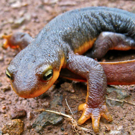 California newt