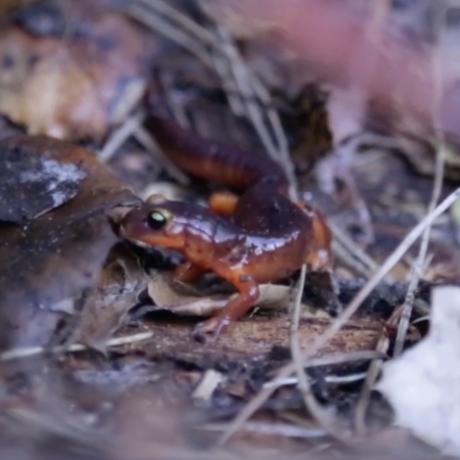 Salamander in Tilden Park