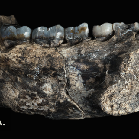 Jaw of new fossil