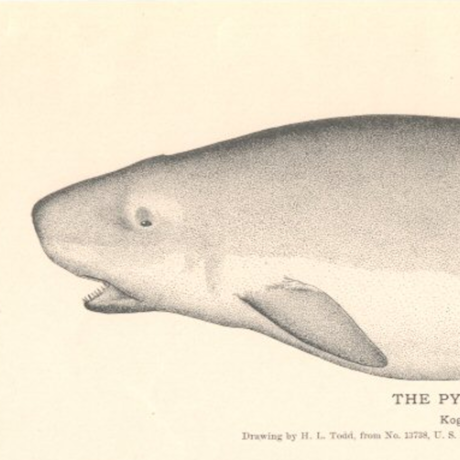 Pygmy Sperm Whale drawing from 19th century