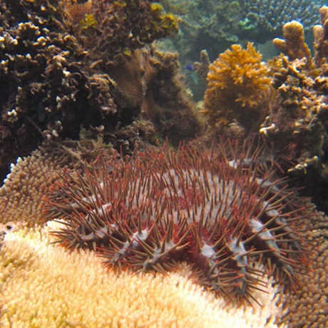 A crown-of-thorns sea star eating a coral from the genus Acropora