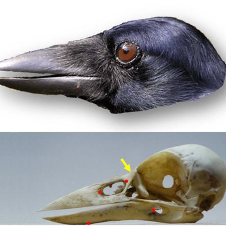 New Caledonian crow skull, Scientific Reports, doi:10.1038/srep22776