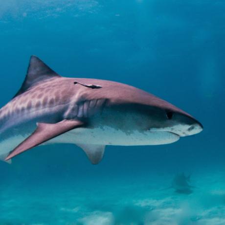 Tiger shark, Albert kok