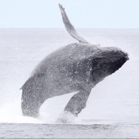 Whale Feeding Frenzy