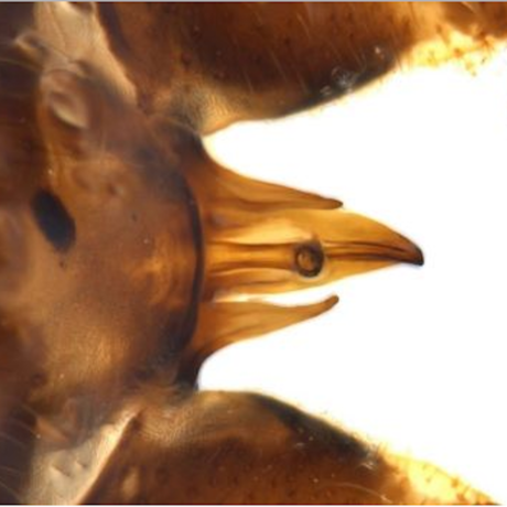 The special anatomy of Minipteryx robusta​, Photo: OEH