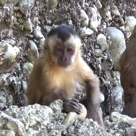 Still from video of capuchin stone slamming, M. Haslam and the Primate Archaeology Group (University of Oxford)