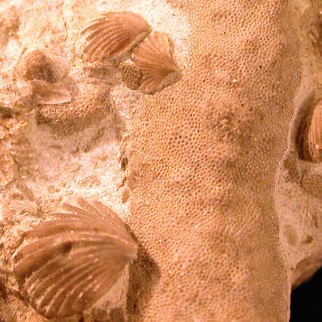 Brachiopod fossils, Upper Ordovician