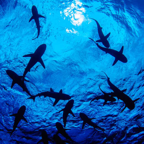 A dozen sharks swim overhead, silhouetted against a blue surface