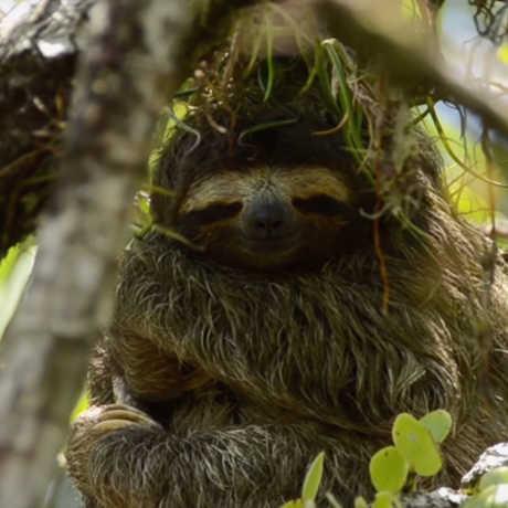 Pygmy sloth