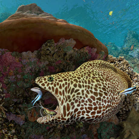 A spotted moray enjoys a teeth cleaning from a shrimp and a wrasse in this Expedition Reef still