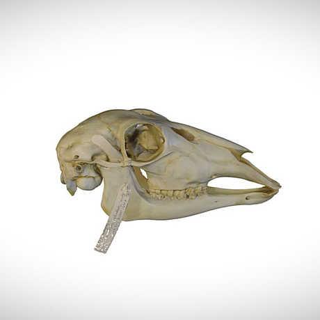 bohor reedbuck skull