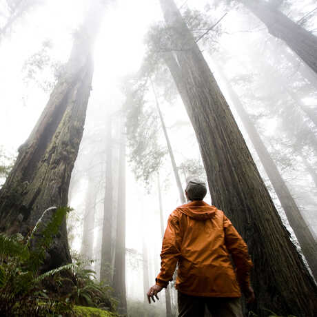 A man looks up at the canopy of a foggy redwood forest