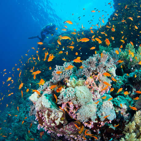A dazzling underwater scene in the Red Sea with a school of bright orange reef fish