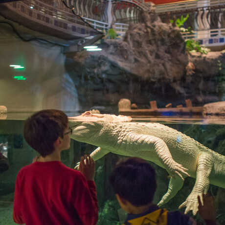 Penguins + Pajamas guest comes face to face with Claude the albino alligator