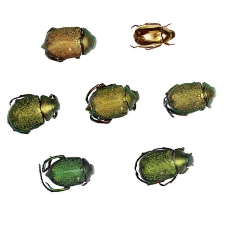 scarab beetles