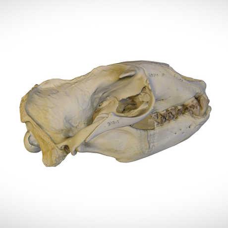 Skulls: A Sketchfab Collection | California Academy of Sciences