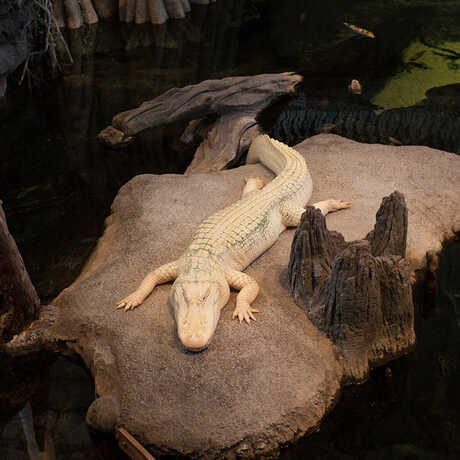 Claude the alligator with albinism sits on his rock in the Academy's Swamp exhibit