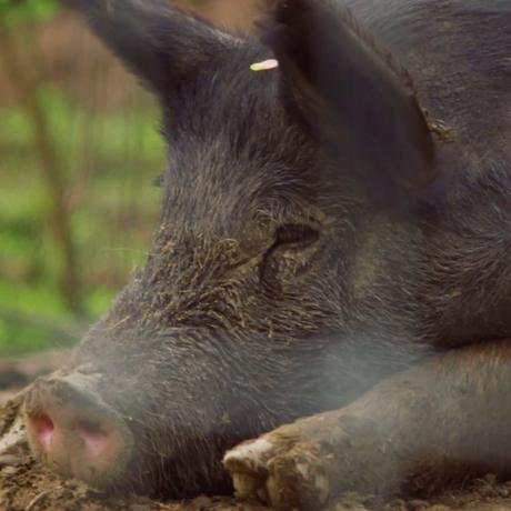 Photo of a black boar