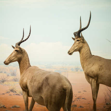 Two Hunter's hartebeest pose majestically in an African Hall diorama
