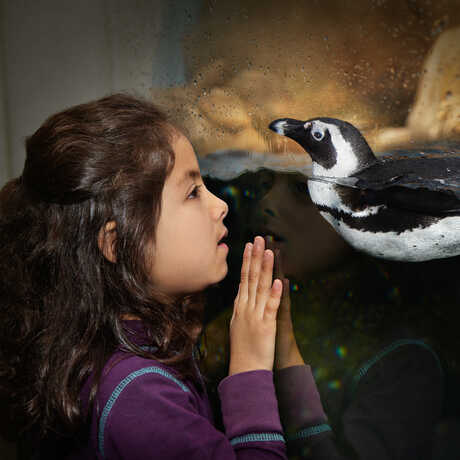 Young girl comes face to face with an African penguin at the Academy