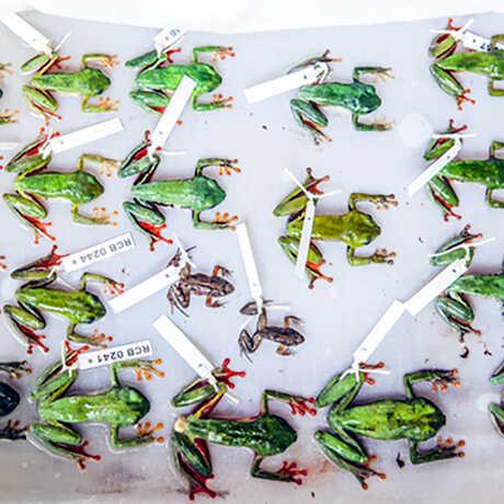 Colorful reed frog specimens