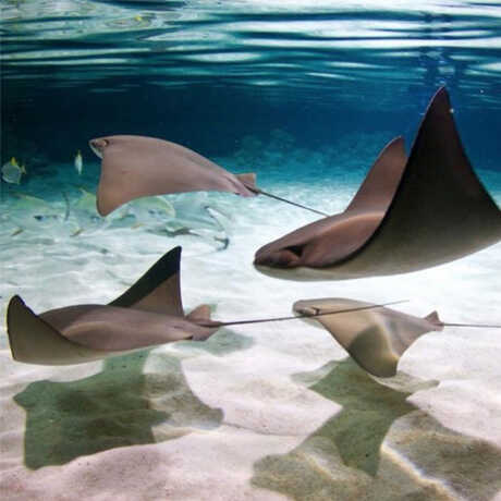 Graceful stingrays soar through Reef Lagoon