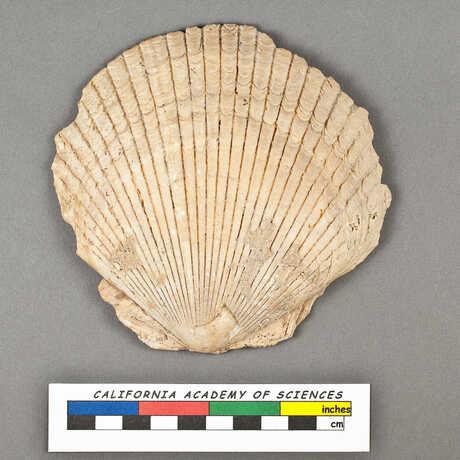 Holotype of a bivalve specimen