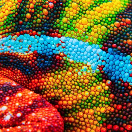 Macro photo of colorful, bumpy chameleon skin