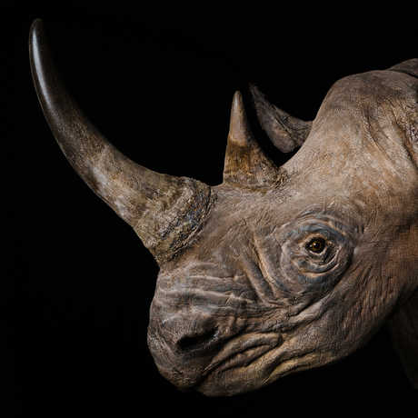 Black rhinoceros specimen with horn against stark black background
