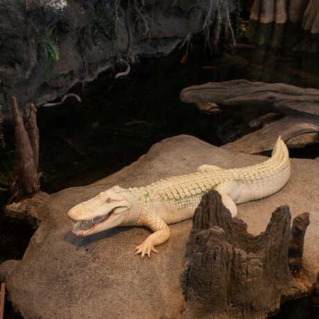 Claude the albino alligator smiles for the camera