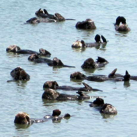 Sea otters floating on their backs in Elkhorn Slough