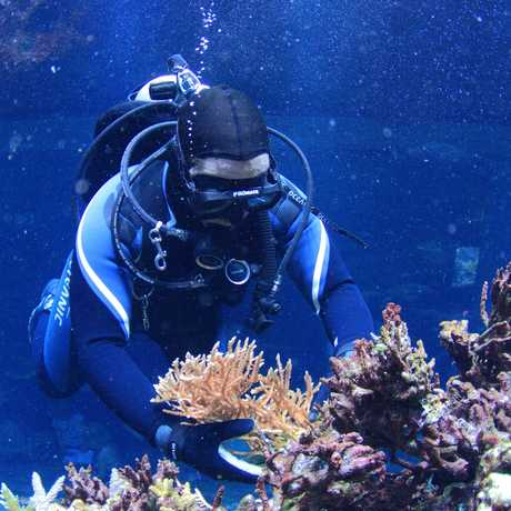 Volunteer diver tending to coral at Steinhart Academy