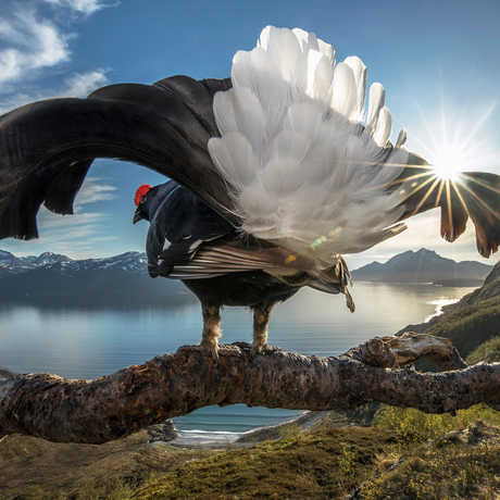 Black grouse shows off its plumage. Photo by Audun Rikardsen