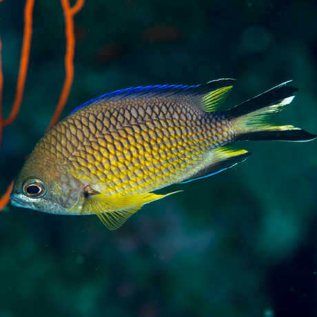 Chromis limbata, a new record for Principe