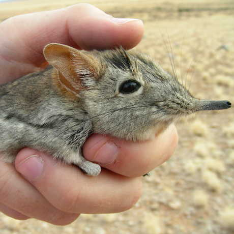 Sengi Being Held in Hand