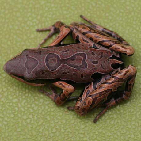 Arthroleptis frog image