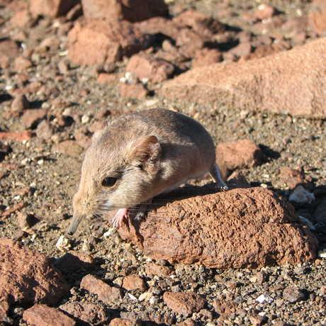 The Etendeka round-eared sengi (Macroscelides micus) from the remote deserts of Namibia.