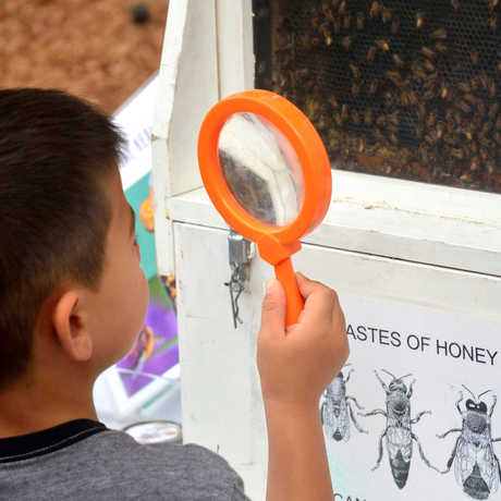 Boy at Nature Day using hand lens to examine beehive