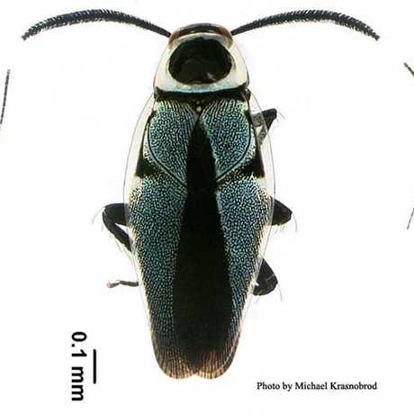 Philippine Roach