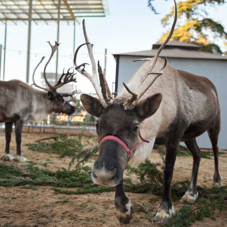 reindeer California Academy of Sciences